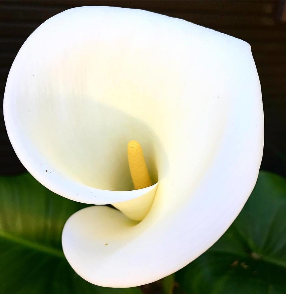 Zantedeschia aethiopica (known as calla lily and arum lily) is a species in the family Araceae, native to southern Africa in Lesotho, South Africa, and Swaziland.  -  #garden #flowers #callalily #springincalifornia  (at At Home in Napa)