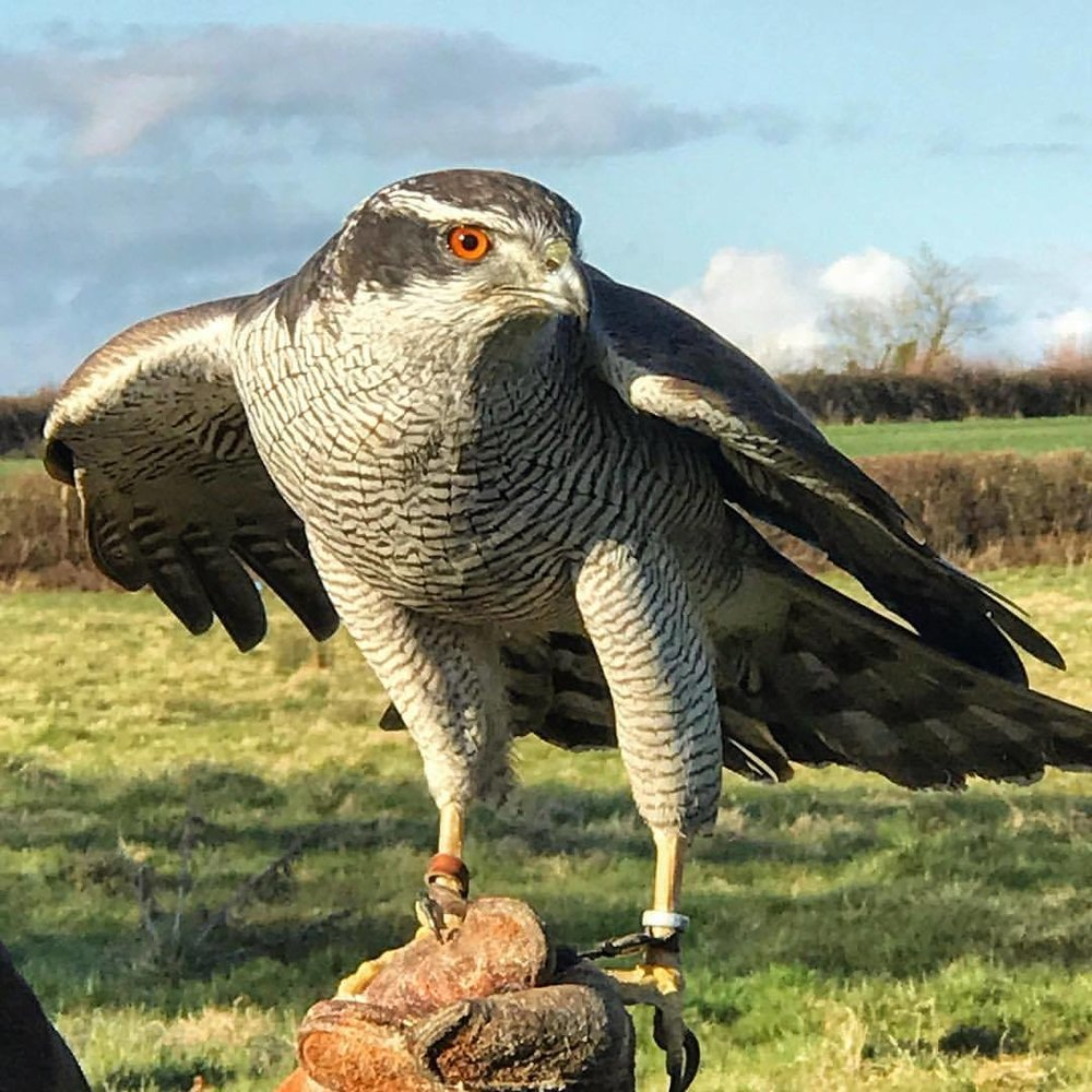 The northern goshawk (Accipiter gentilis) is a medium-large raptor in the family Accipitridae, which also includes other extant diurnal raptors, such as eagles, buzzards and harriers.   -  #unitedkingdom #england #falconry #birdlife  (at Ben Long Falconry, Gloucester)