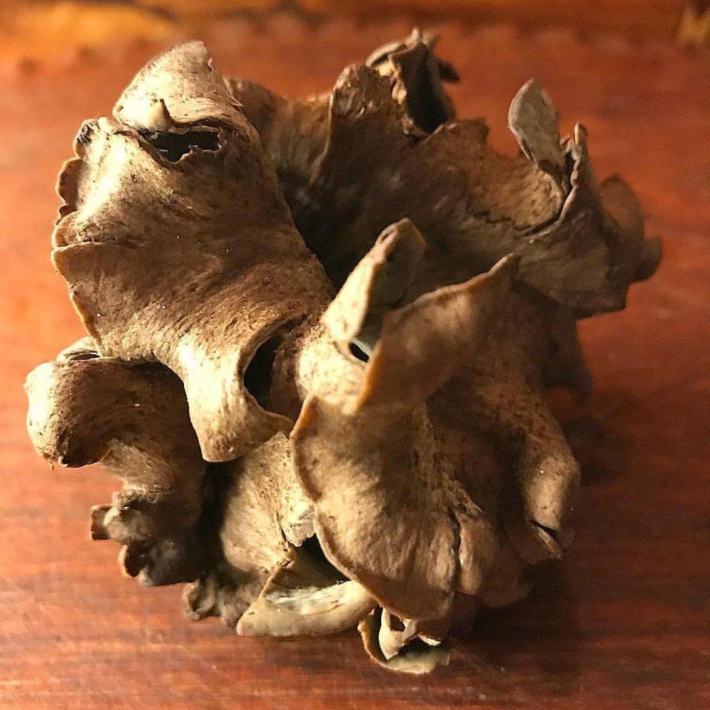 The flower  of a black trumpet mushroom 🍄.  -  #california #foraging #mushrooms #blacktrumpet