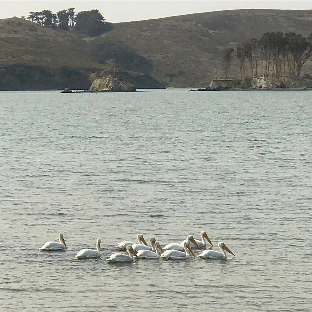 Spotted today:  American White Pelican, symbolizing resourcefulness, community, charity, teamwork and social responsibility.  Perfectly apropos…  -  #california #ourbelovedhome #ilovecalifornia #napafire #thankyoufirstresponders