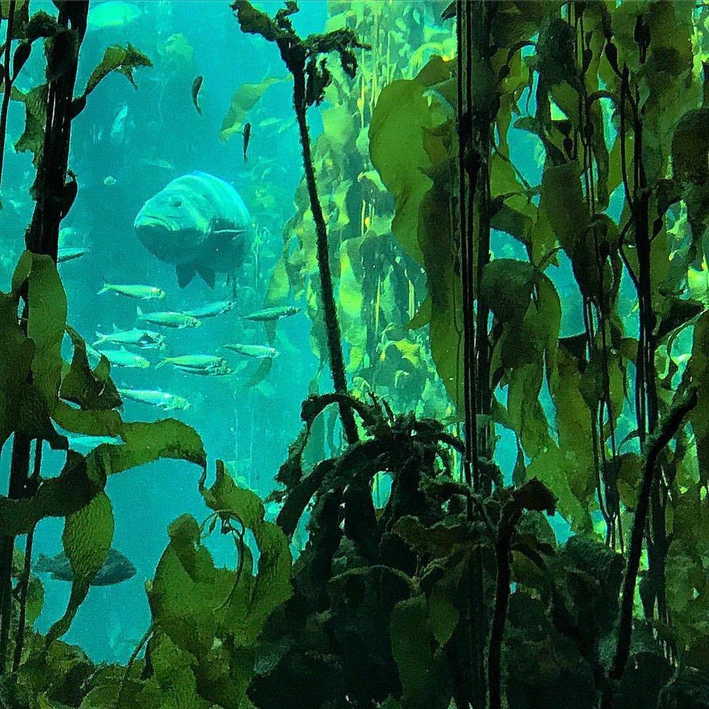 Who lives in a kelp forest?  #california #seaweedwillsavetheplanet   (at Monterey Bay Aquarium)
