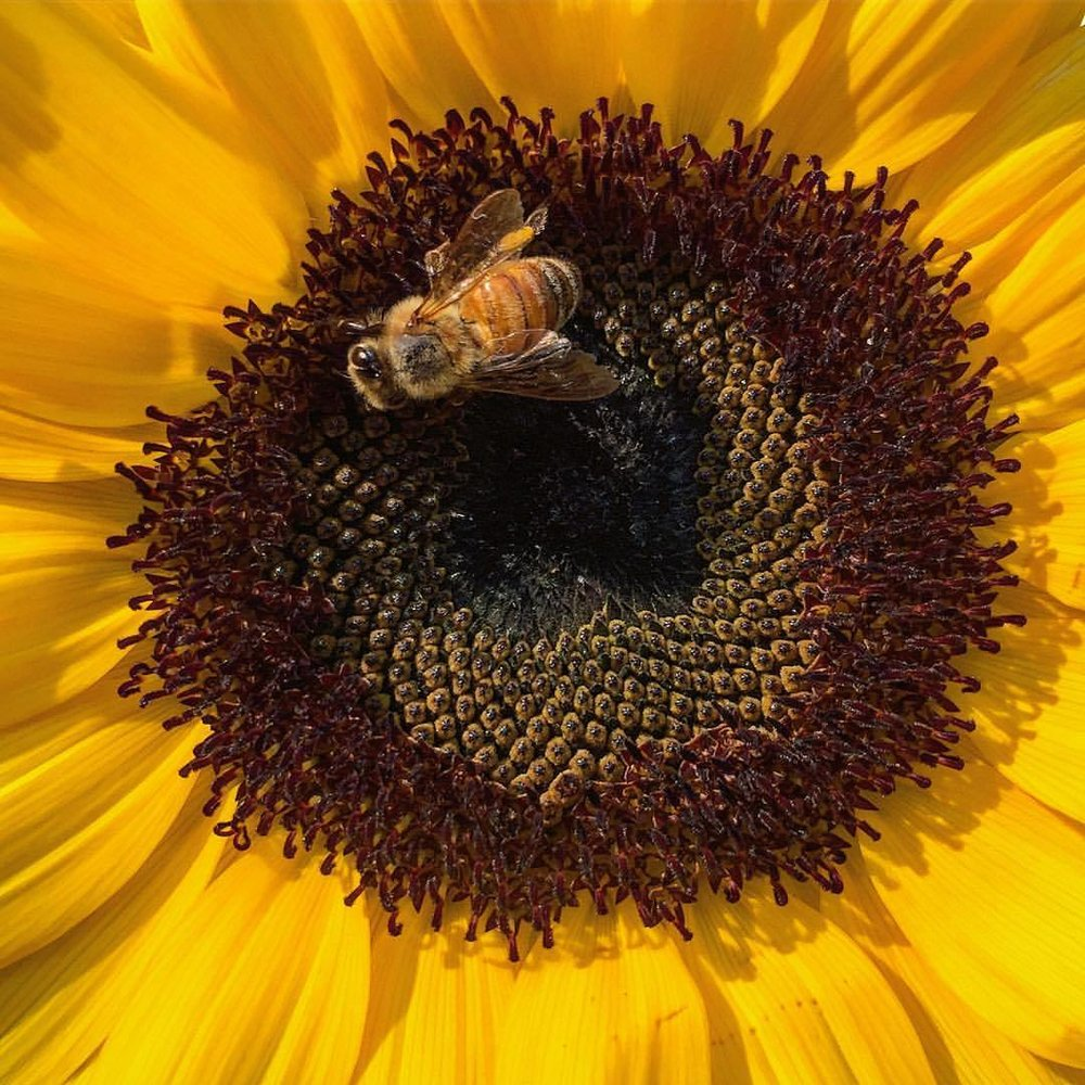 """The keeping of bees is like the direction of sunbeams.""  -Henry David Thoreau (American 1817-1862)  -  #bee #backyardbeekeeping #sunflower  (at At Home in Napa)"