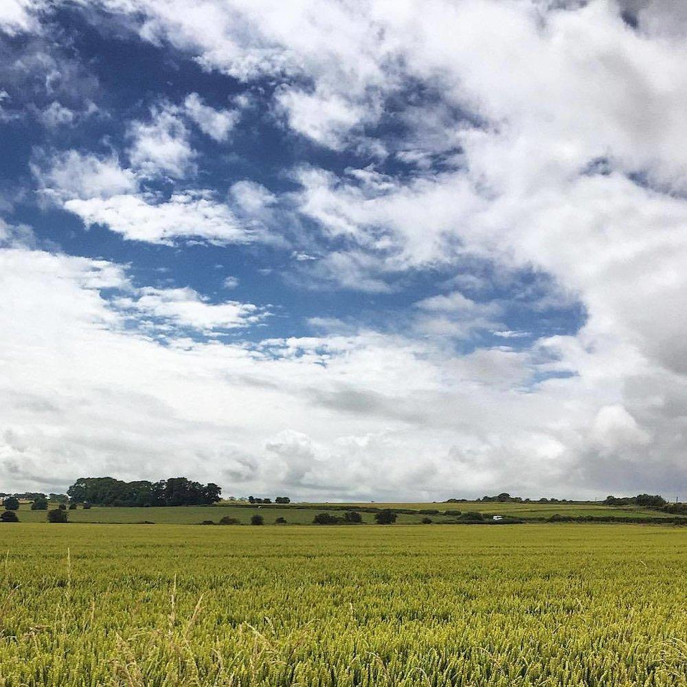 Wheat.  #england #uk #northumberland #perfectweatherforhiking  (at Lesbury)