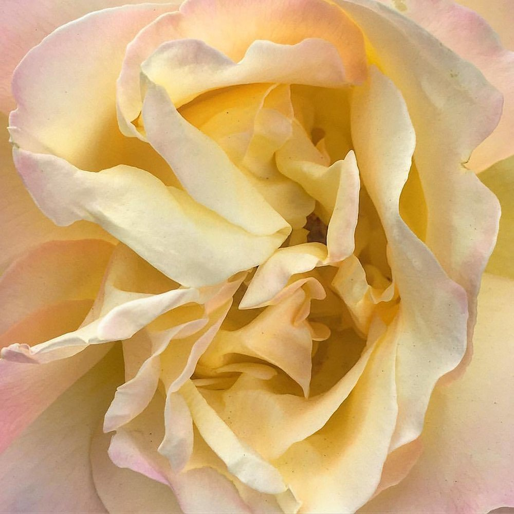 """I once had a rose named after me and I was very flattered. But I was not pleased to read the description in the catalogue: no good in a bed, but fine up against a wall.""  Eleanor Roosevelt (1884-1962)  #roses #flowers #eleanorroosevelt  (at Napa, California)"