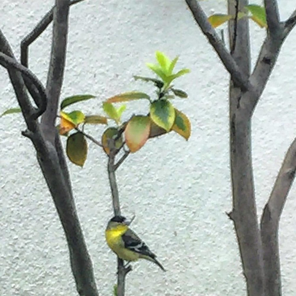 """""""I hope you love birds too. It is economical. It saves going to heaven.""""  Emily Dickinson (1830-1886)  #california #bird #emilydickinson  (at Walnut Creek, California)"""