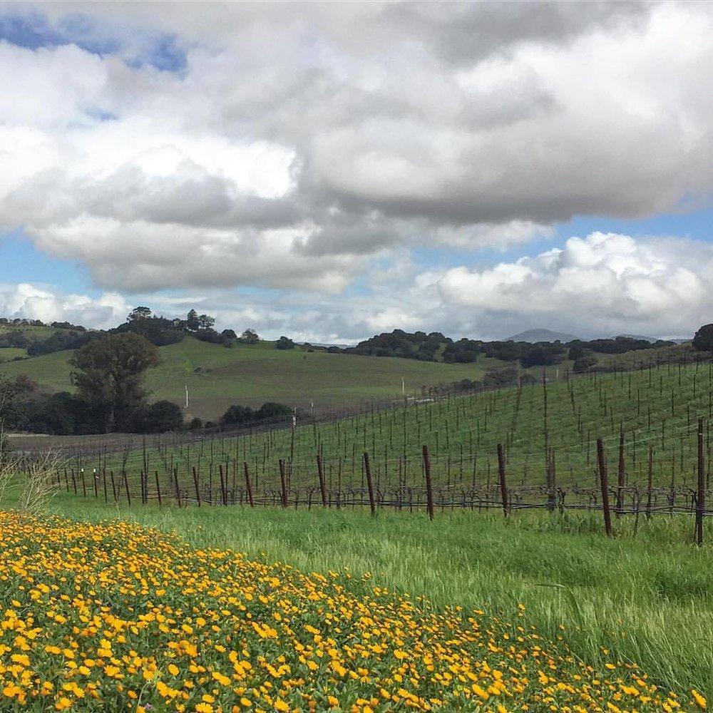 Late winter colors.  #california #carneros #napa  (at Napa, California)