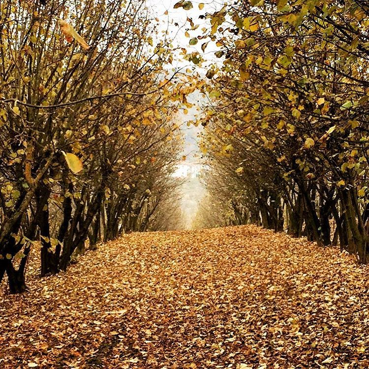 Spent hazelnut orchard.  #italy #piedmont #autumn #nocciola  (at Bossolasco)