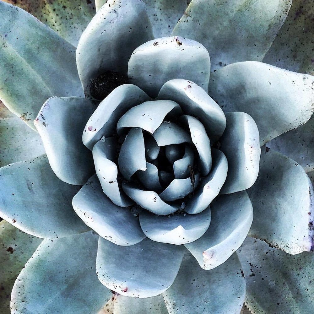 Succulent.  #california #succulents #gardening  (at At Home in Napa Valley)