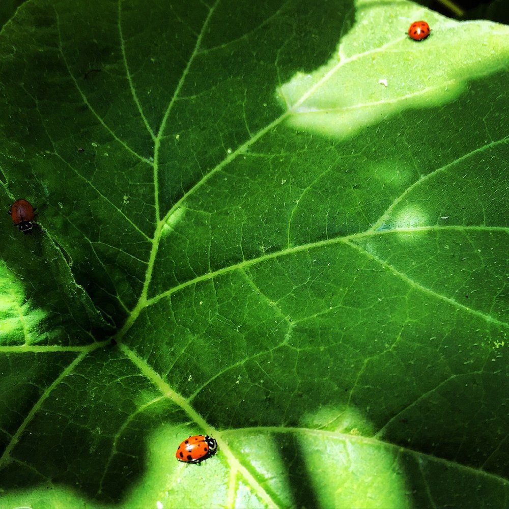 The box arrived this morning,  by smiling delivery man  ear pressed to cardboard,  as if listening   for the voice of Mother Nature herself.  Opened with care and curiosity,  thousands of ladybugs   crawled from their burlap travel satchel  into raised garden beds  thick with leaves and vines  to gorge on the wicked aphid  now besmirching treasured tomatoes.  A militaristic raid  performed by a tiny army   camouflaged  in red and black polkadots.  No guts, no glory.  #garden #backyardwarrior #summer #organic