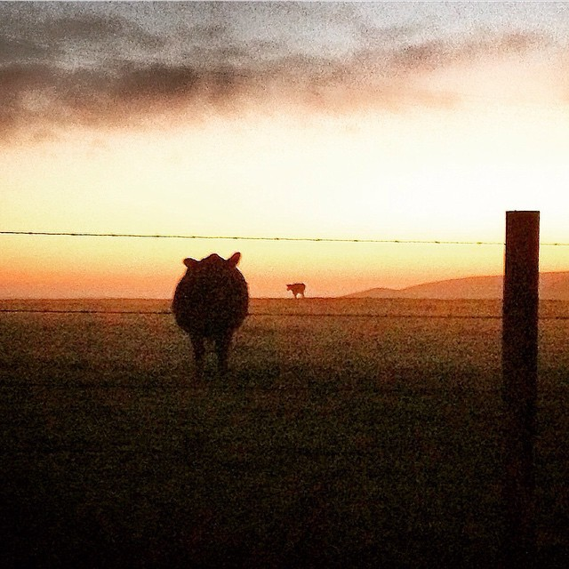 Cows grazing at sunset. (at Point Reyes National Seashore: Tule Elk Reserve)