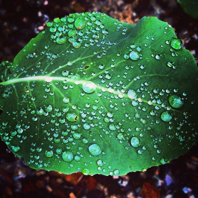 Rain-splattered baby winter greens gratefully accepting the gray, winter skies. (at at home in Napa)