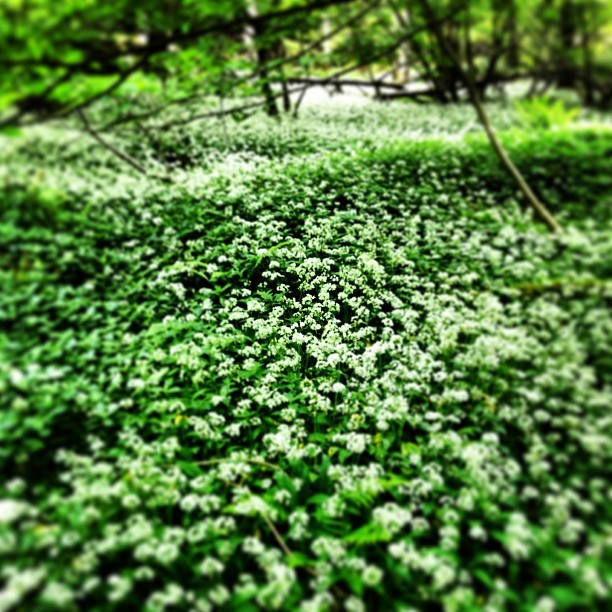 Hiking in the mountains in northern England, I'm overwhelmed by the pungent aroma of onion… Closer inspection reveals carpets of wild ramps in their fragrant bloom… (at The Lake District)