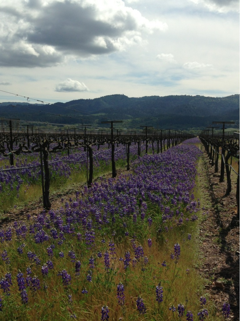 Lupine in bloom in between the Cabernet Sauvignon rows in Napa Valley.