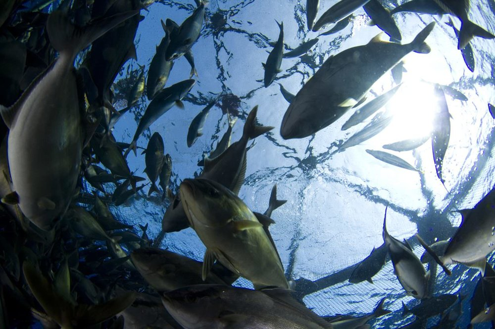 Inside view of Kampachi Farms' offshore Velella cage.