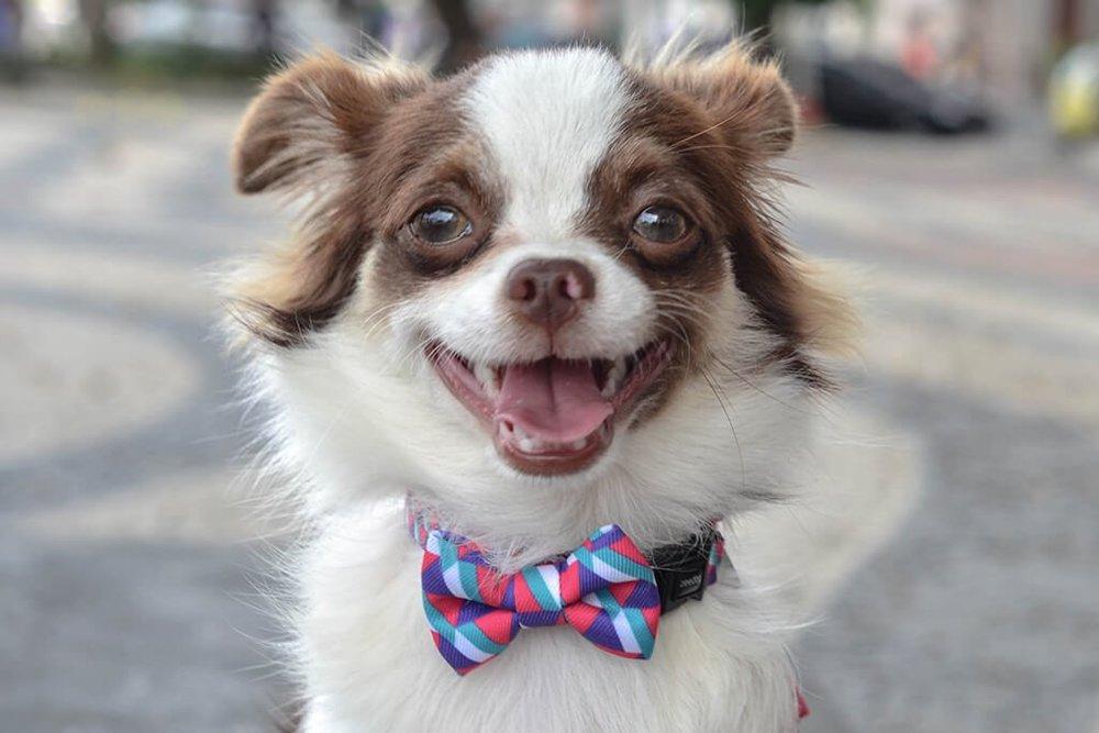 the-sitch-dog-bow-tie.jpg