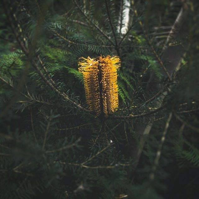 Mountain Gold ⛰🏆 They're a common sight in the Blue Mountains but we spotted this especially #lush Heath Banksia while searching for rare flora species with the NSW OEH #savingourspecies program. Feeling 100% stoked to be able to consistently work with such wholesome clients 🙌🏻 #NSWParks • • • #folkgood #folkcreative #vibesofvisuals #visualsgang #visualsgallery #hsdailyfeature #lastingvisuals #theimaged #takemetoaustralia #discoverearth #exploringaustralia #WeAreExplorers #roamtheplanet #beautifuldestinations #thelensbible #stayandwander #earthoutdoors #earthgallery #visualambassadors #visualsoflife #gearednomad #awesomeearth #createcommune #eclectic_shotz #shotzdelight #adventurer_collective @artofvisuals @eclectic_shotz @beautifuldestinations #newsouthwales @nswnationalparks