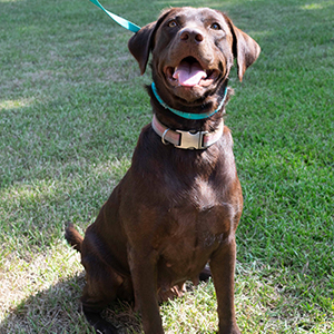 AKC Chocolate labrador retriever labrador puppies for sale