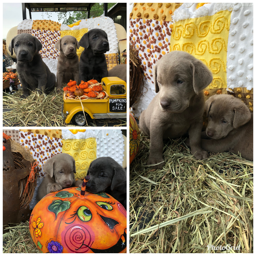 Aggie & Grayson - Aggie and Grayson had a litter of Charcoals and Silvers that will be ready to go home starting on Wednesday, October 3rd!1 Silver male1 Silver female2 Charcoal males3 Charcoal females