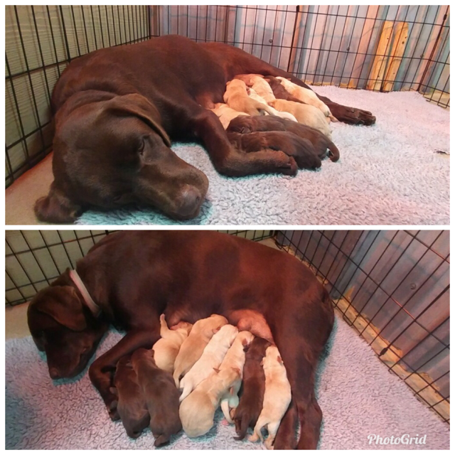 Roxy & Rusty - Roxy and Rusty had a beautiful litter on Saturday, December 8th that will be ready to go home starting on Thursday, January 31st!Selling fast!... Only…1 Yellow female still available***Puppies shown in picture are 4 days old***