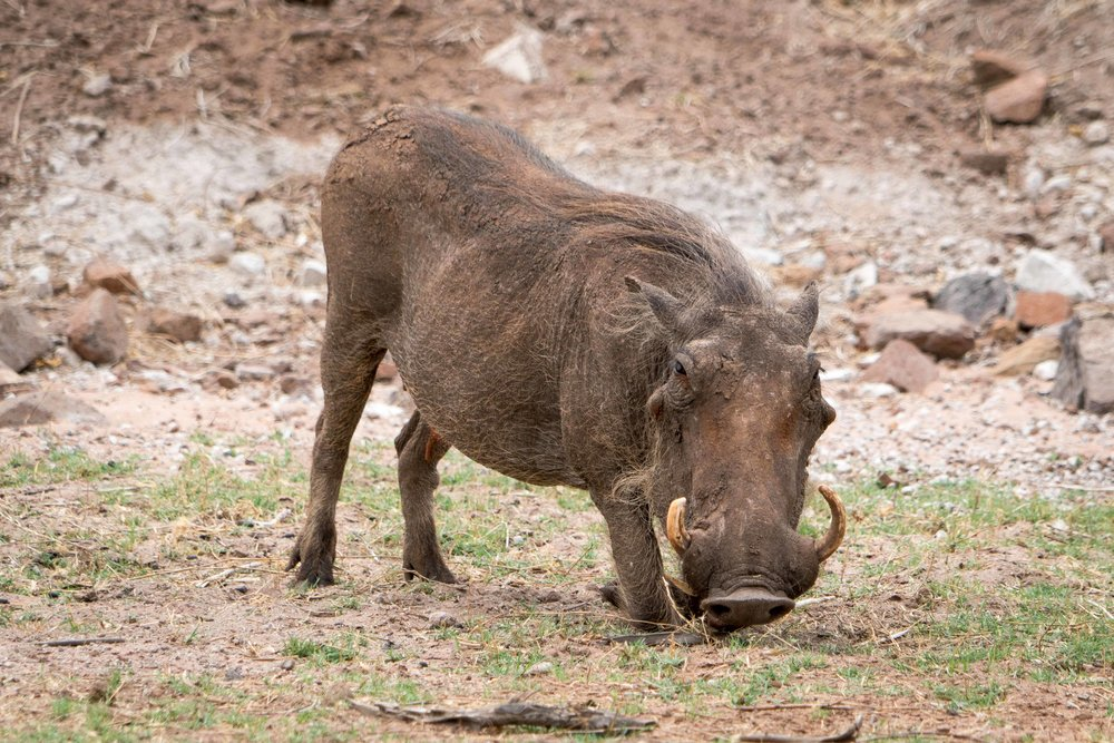 The handsome warthog. Not… Impala Baboon checking us out Finally – an elephant!