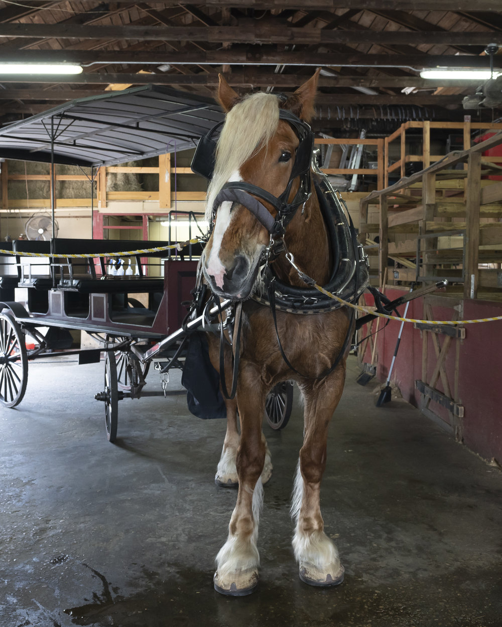 Gary the Belgian draft horse