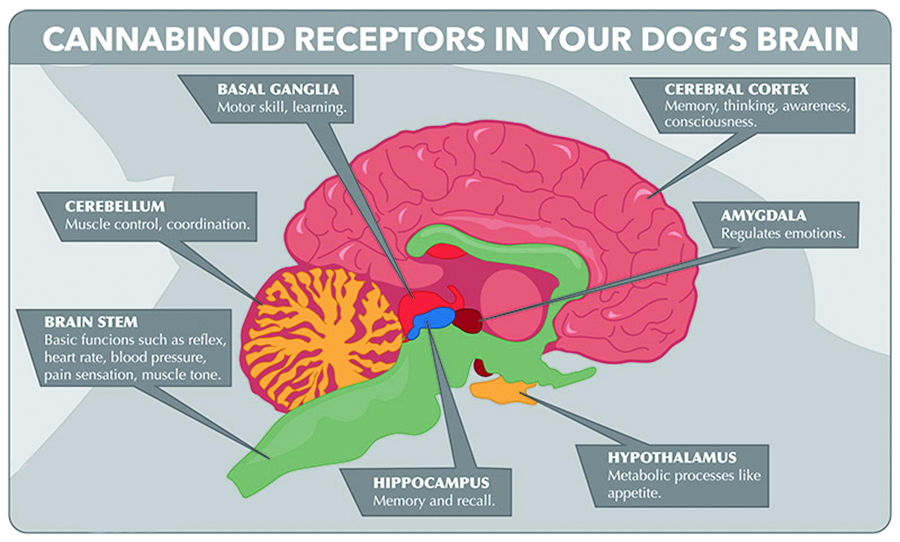 pet-dog-cat-endocannabinoid-receptors-brain-phyto.jpg