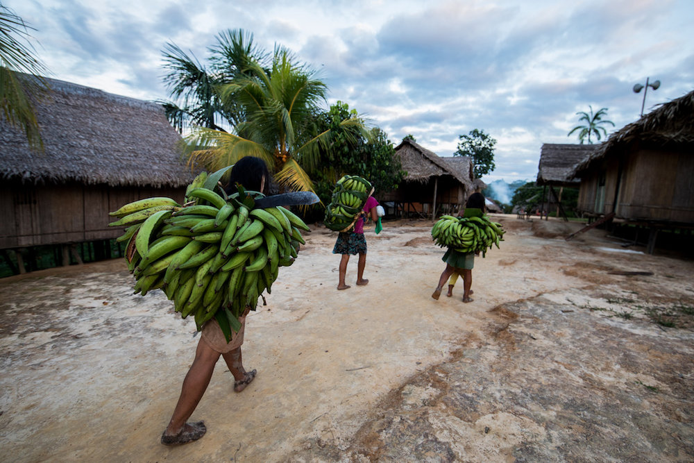 Plantains being carried back to the village from the chakra.