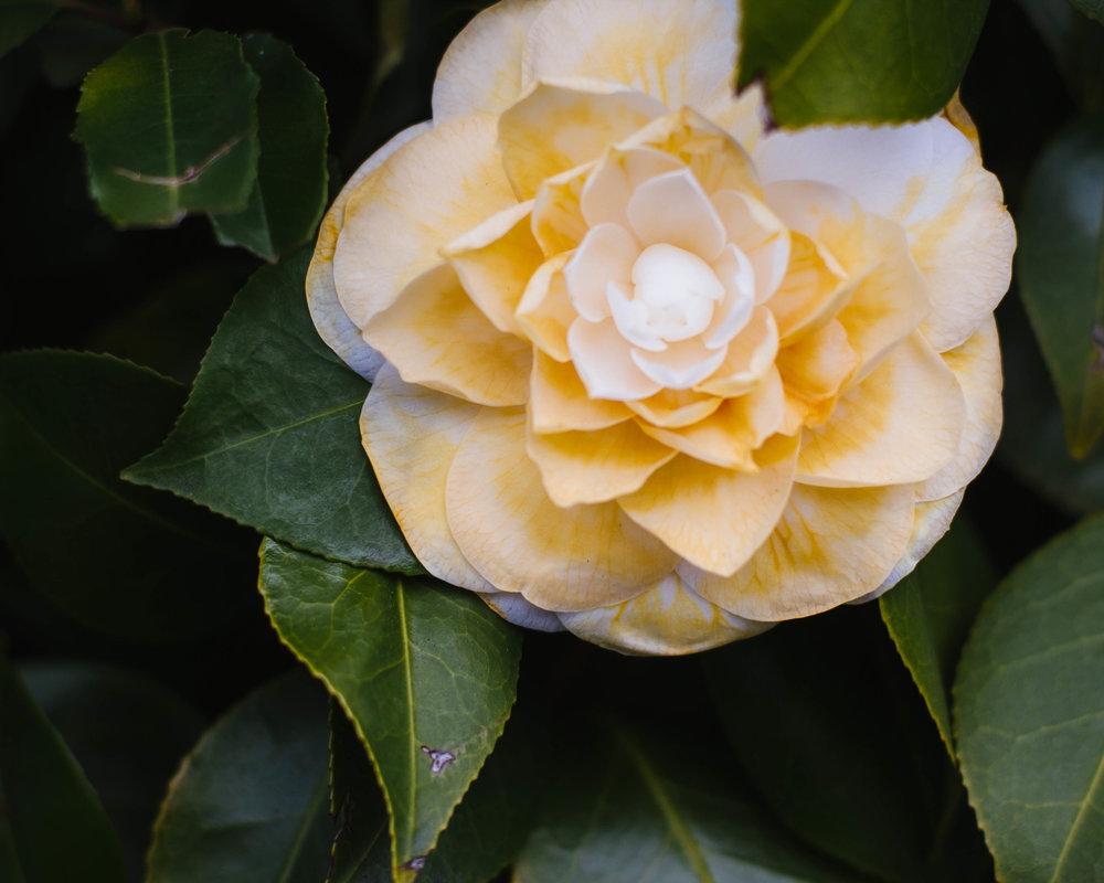 a yellow camellia