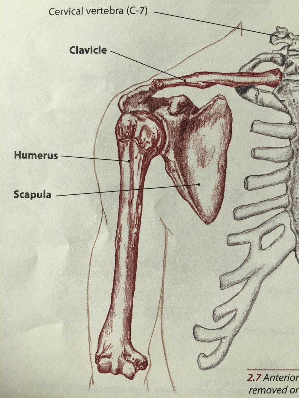 The Shoulder Bony Anatomy Part 2 Tami Apland