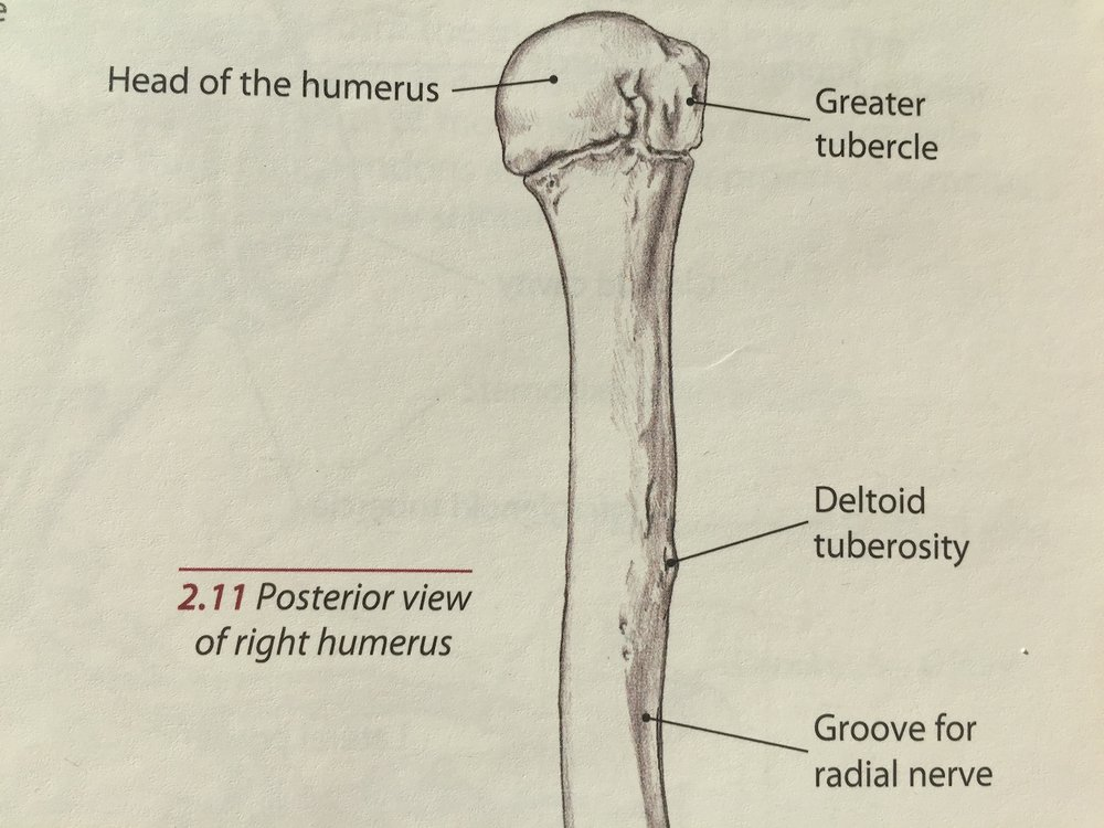 A view of the right humerus from the back.