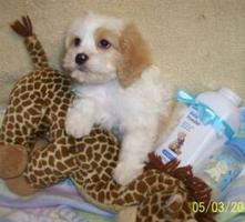 Cavachon Puppy with Favorite Toy