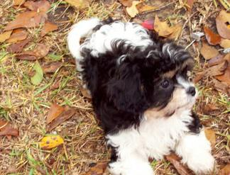 Cavachon on a fall day