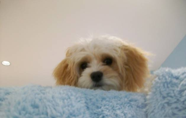 Cavachon Puppy - Bailey.jpg