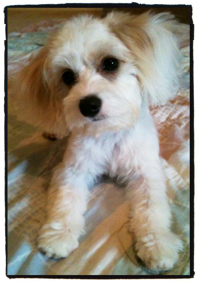 Cavachon Puppy - Max.JPG