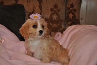Cavachon Puppy - Nikitah.jpg
