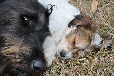 Cavachon Puppy - Chanel.jpg