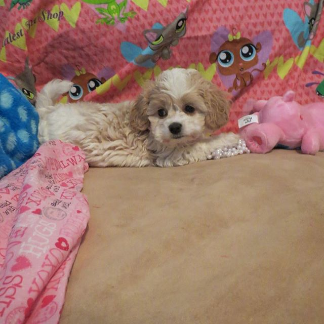 Precious little girl ready to go to her new home.#toycavachon #cavalierkingcharles #puppiesforsale #cavachon