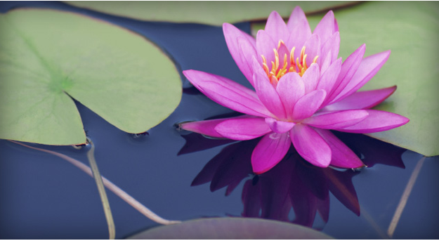 Lori whittaker pond lilly.PNG