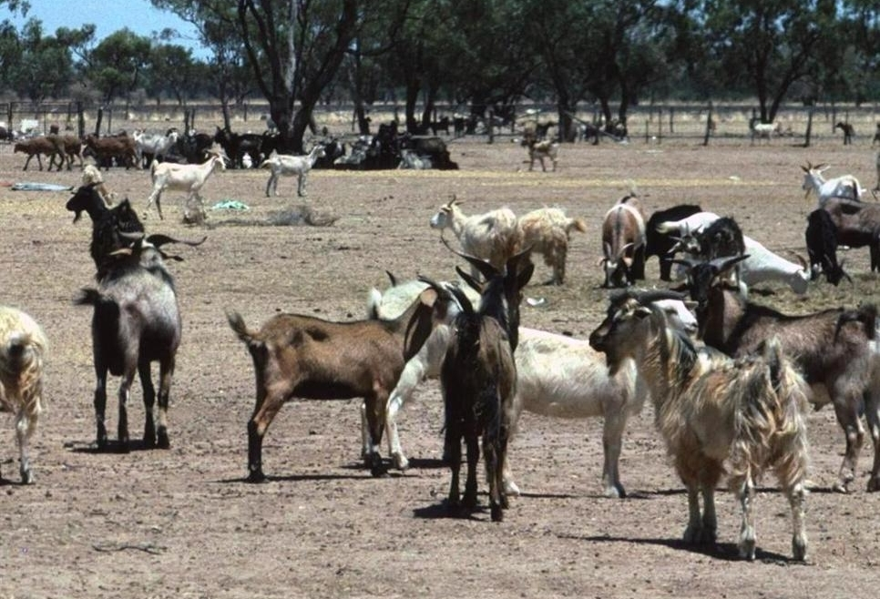 4 feral goats Bourke Glen Saunders crop1.JPG