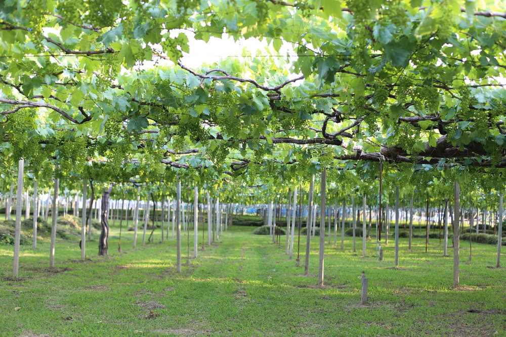 Koshu Valley_Japanese Wine Region_Pergola vineyard_Spring.JPG