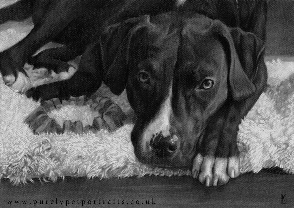 Charcoal drawing, portrait of Riley by www.purelypetportraits.co.uk