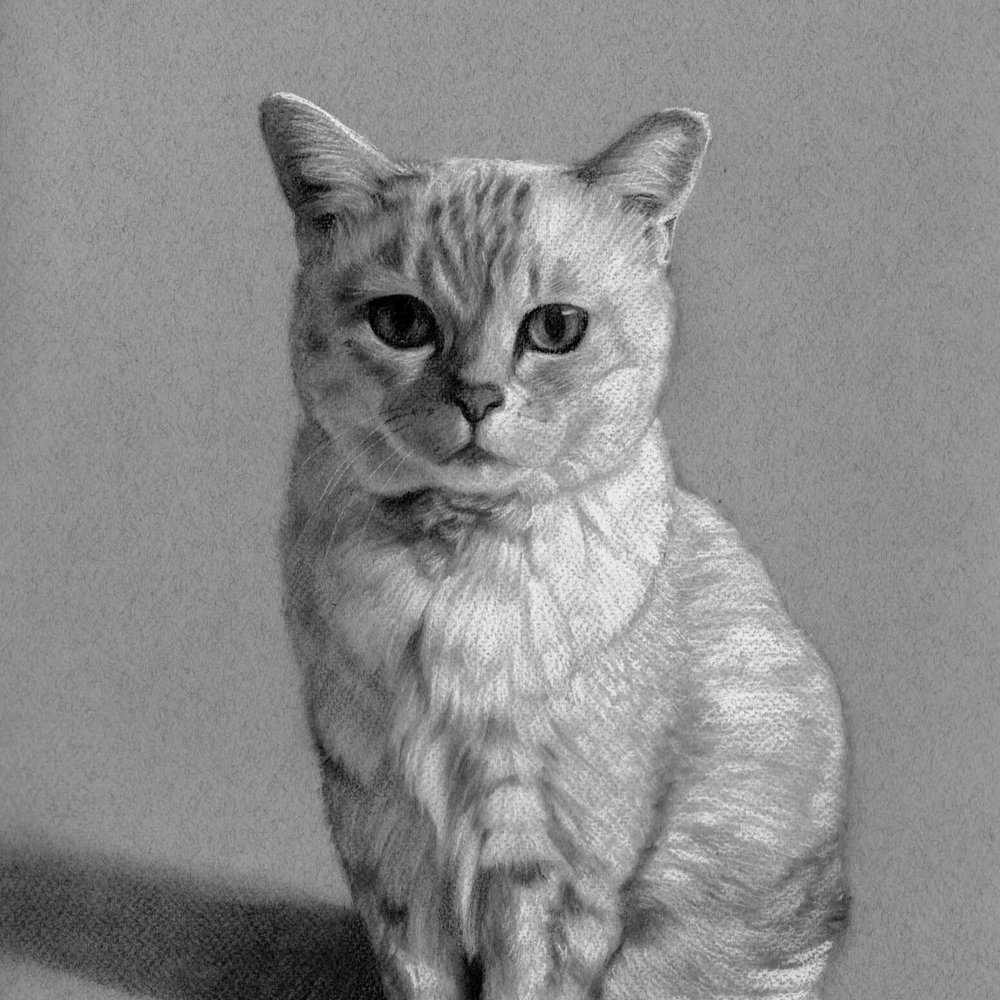 "Cagney - ""I just gave the picture to my husband as a surprise and he was moved to tears. We are both thrilled with the charcoal you've drawn of our much loved little cat Cagney. It's beautiful, and captures her expression perfectly. Than you so much.""Lynne"