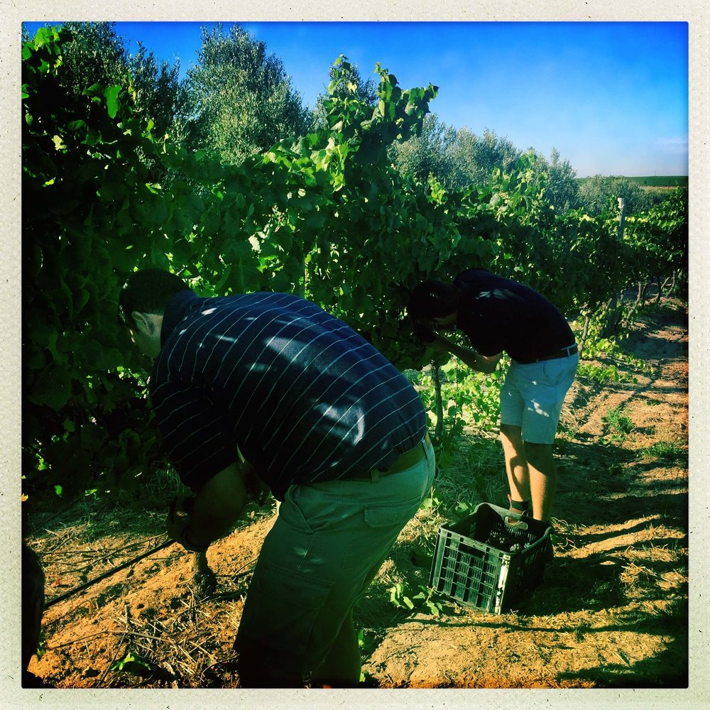 Picking Pinot Gris - Ryno _ JD.jpg
