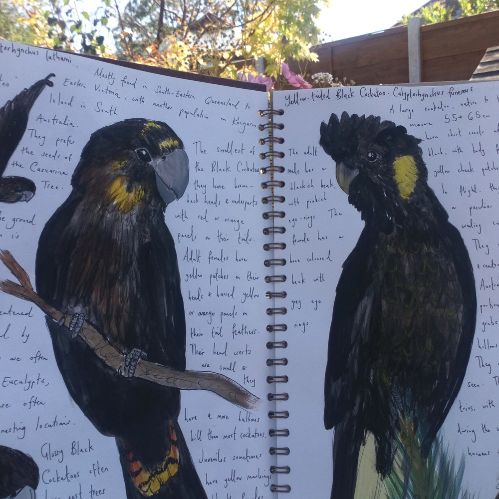 Sketchbook doodles of black cockatoos