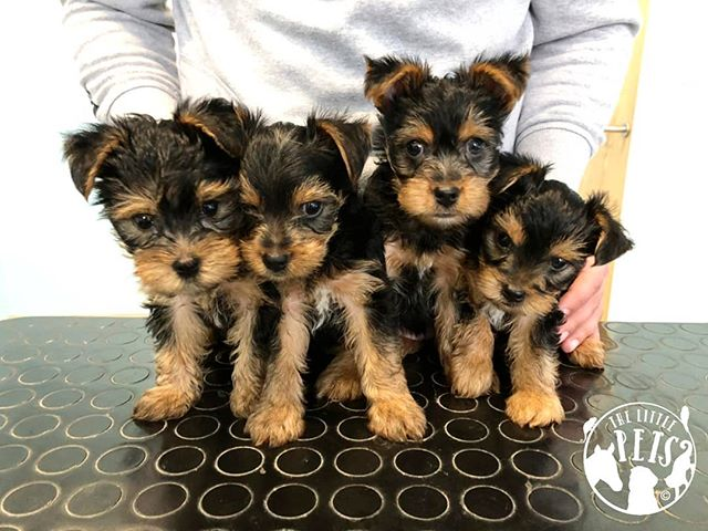 How lovely to meet these brave little Yorkshire terriers who came for their first vaccinations and microchips. They did so well!! 🐶 . . . . . . . . . #animals #animal #pet #dog #cat #dogs #cats #rabbit #rabbits #hamsters #horses #farm #countryside #photooftheday #cute #pets #instagood #love #nature #animallovers #pets_of_instagram #petstagram #leightonbuzzard #bedfordshire #miltonkeynes #luton #england #london #unitedkingdom