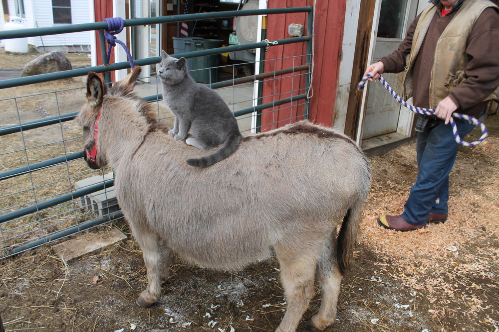 CAT ON DONKEY 5X7.jpg