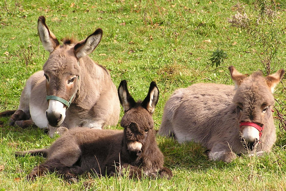 DONKEYS LAYING DOWN 5X7 REG.jpg