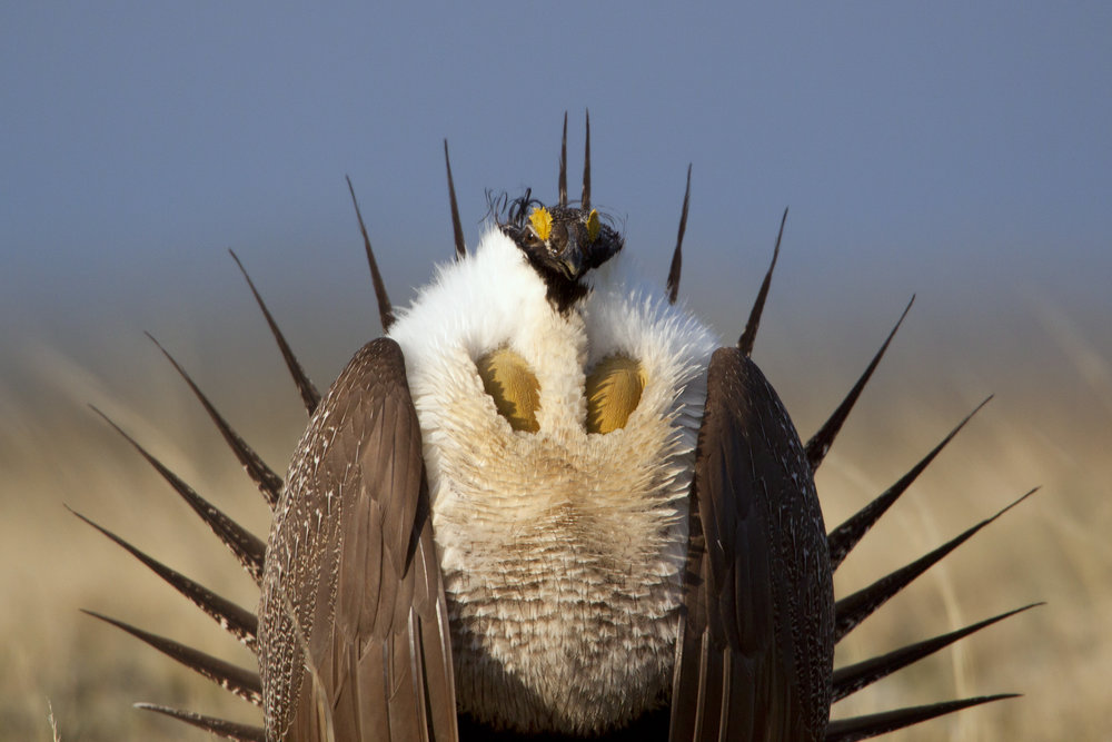 Sage-Grouse -