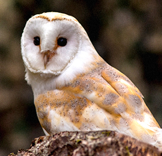 THE INSPIRATION - PROJECT BARN OWL - From 1995-97 Rod Angus, a life-long ornithologist, took part in the British Trust for Ornithology's 'Project Barn Owl' in his home area of Kintyre, Argyll.Previously only 3 or 4 nest sites had been known, but Rod discovered more than 40 territories, making Kintyre a nationally important stronghold for Barn Owls.