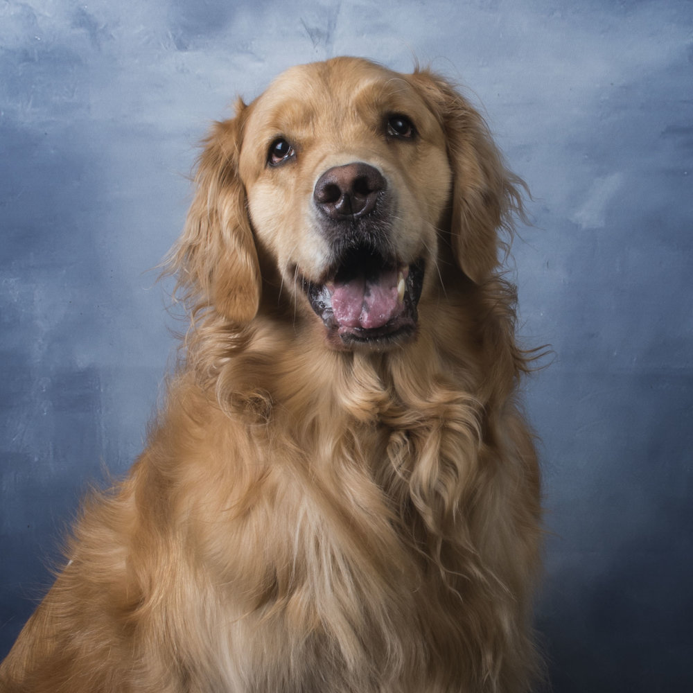 Winston - Office Dog
